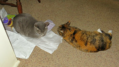 Millie and Gracie 23 February 2016 8533Ri 9x16 (edgarandron - Busy!) Tags: cats cute cat gracie feline tabby kitty kitties tabbies millie graytabby patchedtabby