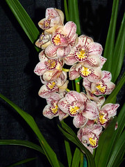 the 2016 pacific orchid exposition, Cymbidium (Aunty Violet x Kirby Lesh) orchid hybrid (nolehace) Tags: sanfrancisco winter plant orchid flower kirby pacific violet exposition bloom hybrid poe aunty cymbidium 216 lesh 2016 pacificorchidexposition nolehace fz35