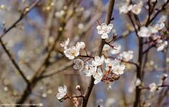 Blossoms of Spring. (andreasheinrich) Tags: morning nature germany deutschland march spring warm natur sunny cherryblossoms sonnig morgen märz frühling badenwürttemberg kirschblüten neckarsulm nikond7000