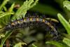 Variable Checkerspot (Euphydryas chalcedona) - larva on sticky monkeyflower (Mimulus aurantiacus) (aliceinwl1) Tags: arthropod arthropoda brushfootedbutterfly burtonmesaecologicalreserve butterfly ca california chalcedoncheckerspot checkerspot coloncheckerspot euphydryas euphydryaschalcedona insect insecta lepidoptera lompoc melitaeini nymphalidae nymphalinae papilionoidea santabarbaracounty variablecheckerspot caterpillar chalcedona larva locpublic viseveryone