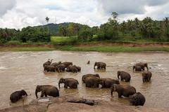 Elephant composition (loddeur) Tags: elephant water river bath orphanage jungle srilanka bathing olifant pinnawela elephasmaximusmaximus maoyariver