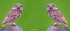 Mochuelo x dos v (eb3alfmiguel) Tags: aves nocturnas mochuelo europeo rapaces