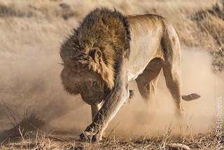 Lion -  Ongava, Namibia.
