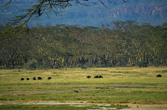 LN_safari_waterbuffalo_05 (chiang_benjamin) Tags: africa morning game water animal animals nationalpark kenya reserve bufallo lakenakuru
