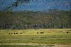 LN_safari_waterbuffalo_05 (chiang_benjamin) Tags: africa morning game water animal animals nationalpark kenya reserve bufallo lakenakuru