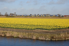 Daffodils at Lisse, March 25, 2016 (cklx) Tags: holland yellow spring daffodils slt 2016 sprinterlighttrain