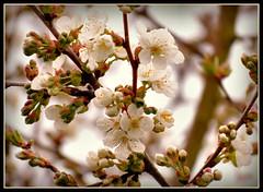 Blten eines meiner Pflaumenbume (karin_b1966) Tags: plant tree nature garden natur blossoms pflanze garten baum plumtree blten 2016 pflaumenbaum