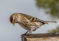 female Common Redpoll (Acanthis flammea) (NigelJE) Tags: bird animal finch bigwhite redpoll fringillidae commonredpoll acanthisflammea acanthis truefinch nigelje