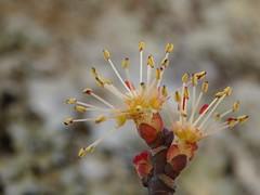 Acer rubrum (red maple) flower (kevinandrewmassey) Tags: red flower tree maple flora n acer linvillegorge rubrum