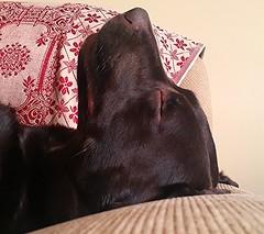 I've done enough today!! (Michael C. Hall) Tags: labrador chocolate asleep