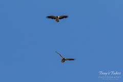 Juvenile Bald Eagles battle sequence - 5 of 5