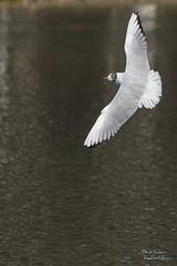 Majestueuse mouette (Denis-et-Alain-nature) Tags: lumire marin vol oiseaux plumes lumirenaturelle lumiredujour voler mouetterieuse plandeau wingles basenautique chroicocephalusridibundus