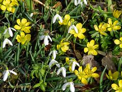 Winterlinge und Schneeglckchen (Ariane Ballaman) Tags: winter flower spring blumen snowdrop frhling aconite schneeglckchen winterling