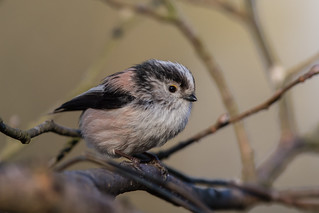 Long-tailed Tit. Montreathmont Forest. 20.03