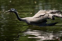 Gru (LightRapsody) Tags: natura acqua guado gru oasi gruidae