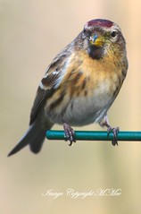 A Redpoll.! (nondesigner59) Tags: bird nature archives redpoll eos50d nondesigner nd59 copyrightmmee cbnr