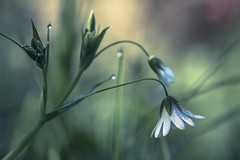 (Emilien Gass) Tags: flower macro green grass canon droplets spring 100mmf28 550d