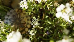 Treasure Lost (Bnylvr) Tags: flowers white flower garden lost outside treasure medal alyssum