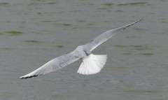 Titchfield Haven, Hampshire 230416 (055) (Photos-Tony Wright) Tags: haven black bird nature wildlife gull flight reserve hampshire april headed 2016 titchfield