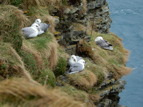 Five fulmars, 2016 Mar 19 -- photo 2