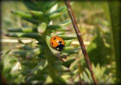 Orange ladybug (Marty_0722) Tags: life orange plant nature fauna insect flora natura ladybug vita insetto arancione pianta coccinella