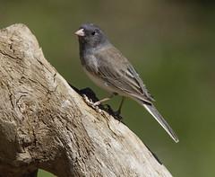 Dark-eyed Junco (AllHarts) Tags: ngc npc darkeyedjunco memphistn backyardbirds naturescarousel