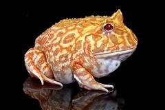 Albino Horned Frog, CaptiveLight, Bournemouth, UK (rmk2112rmk) Tags: uk amphibian frog bournemouth herps hornedfrog ceratophrysornata albinohornedfrog captivelight