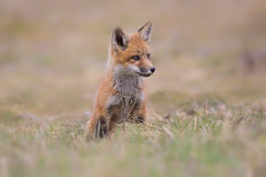 Fox kit (Phiddy1) Tags: baby ontario canada wildlife ngc npc fox foxkit redfoxkit