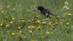 Schwarz-Gelb at home --5261 (clickraa) Tags: garten vogel bvb amsel gelbschwarz