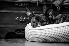 My ears are real and they're spectacular (Emily Kistler) Tags: dog dogs spectacular evening bedroom nikon florida ears d750 bedtime dexter clearwater