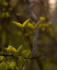 Fairy sunshine / Explored / (gabi_halla) Tags: light sun sunlight plant green nature leaves sunshine contrast forest leaf spring dof shine outdoor fairy springishere