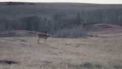 JH167432 (geelog) Tags: canada calgary field spring dusk ab deer pasture whitetail