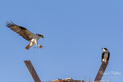 Male Osprey tosses grass toward its nest - Sequence - 6 of 19