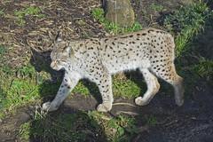 2016.02.19.060 PARIS - Zoo  - Europe - Lynx (alainmichot93) Tags: paris france animal seine zoo ledefrance linx mammifre flin 2016 zoodevincennes parczoologiquedeparis
