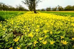 Buschwindrschen Wiese (strack_frank) Tags: flower field landscape golden outdoor pflanze feld samsung gelb blume landschaft blackforest acker nx30