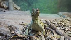 Hydrosaurus (ZeroOne) Tags: zoo lizard tarongazoo sailfinlizard hydrosaurus epl3