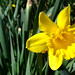 daffodil%2C+Boulevard+Baptist+Church%2C+enhanced+%282%29