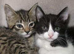 Shelter Kittens (whaas987) Tags: cute cat kitten kittens kittenshelter