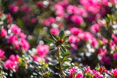 IMG_9469 (Nikan Likan) Tags: pink 2 paris flower green by vintage lens prime spring purple mechanical bokeh depthoffield f works mm manual russian 13 1962 blades swirly manufactured ussr | 58 2016 krasnogorsk helios44 kmz m3942