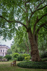 Open Garden Squares 2015 - 1830.jpg (DavidRBadger) Tags: city london greenspace planetree 2015 cityofwestminster londonplanetree urbansquare opengardensquares carltonhouseterracegarden