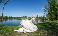 swans (35) (Vlado Fereni) Tags: birds animals lakes croatia fisheye swans animalplanet hrvatska nikond600 zaprei sigma1528fisheye zajarki lakezajarki