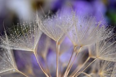 Natures crystals (Mazzlo) Tags: flower macro water sparkles dewdrops droplets nikon crystals purple head seed salsify d5500