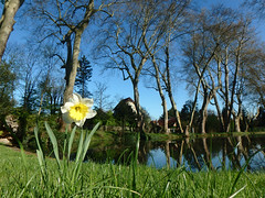 Sycamore Pond with Daffodil (Muddy LaBoue) Tags: trees sky france flower nature water grass outdoors spring pond outdoor serenity daffodil april serene grounds sycamores etang 2016 essonne draveil chateaudeparisjardins
