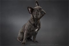 Jack (Marijke M2011) Tags: dog pet cute animal studio indoor hond frenchbulldog huisdier patience petportrait greydog dogportrait studiolightning hondenportret