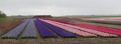 Callantsoog (North Holland). Some colours on a rainy day. (Elisa1880) Tags: flowers holland netherlands field landscape north nederland bulbs hyacinten bloemen landschap noordholland hyacinths bollenveld callantsoog