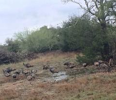 Turkeys thankful they got away 2015 Thanksgiving, warrenton, tx (bpalkowsky) Tags: turkey texas wildturkeys naturalist texasmasternaturalist tmnglc