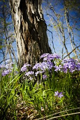 Shooting Star Trailhead (Notley) Tags: tree nature floral landscape spring outdoor trail missouri bark april serene 2016 10thavenue notley boonecountymissouri notleyhawkins missouriphotography httpwwwnotleyhawkinscom notleyhawkinsphotography shootingstartrailhead