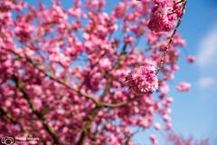 Kirschblte in Bielefeld (thendele) Tags: pink trees tree nature spring natur rosa lila cherryblossom sakura blte bume baum bielefeld cherrytree frhling violett naturephotography kirsche kirschblte kirschbaum frhjahr kirschbume naturephoto liebefeld japanischekirsche aufdemlangenkampe