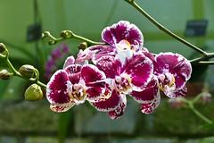 Panasonic FZ1000, Orchids, Botanical Gardens, Montral, 24 April 2016 (20) (proacguy1) Tags: orchids montral botanicalgardens panasonicfz1000 24april2016