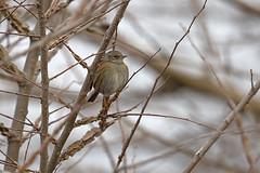 Dunnock-Greece_5938 (Stephen Daly) Tags: dunnock greece bulgaria prunellamodularis accentor passerine